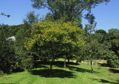 Quercus arkansana ,016.1991A