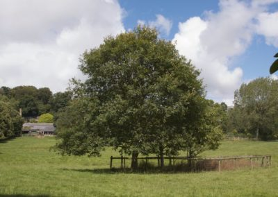Quercus petrea Field below the House
