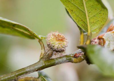 Quercus baronii ,