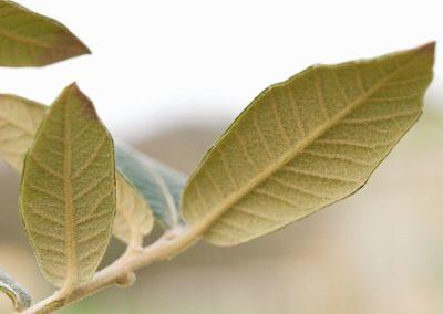 Quercus xdysophylla ,