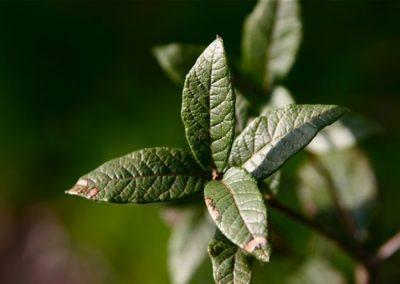 Quercus miquihuanensis