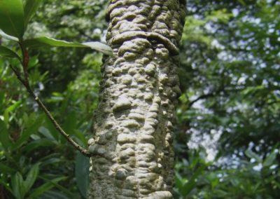Quercus mexicana
