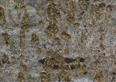 Quercus bark