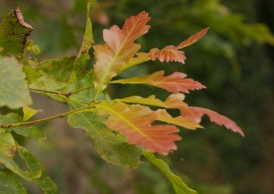Quercus xbebbiana , 629 , 025.1993A
